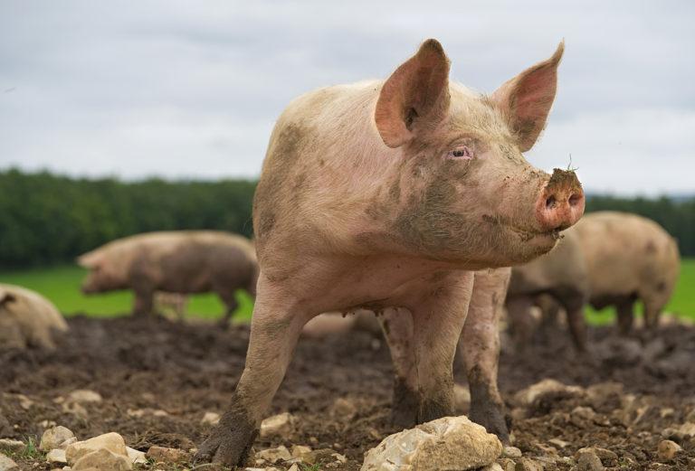 Peste Porcine Africaine : la FNSEA appelle à tout mettre en œuvre pour sécuriser les éleveurs !